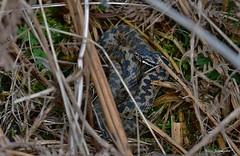 Adder (male ) - Buckinghamshire (Alan Woodgate) Tags: snake adder viper uk buckinghamshire