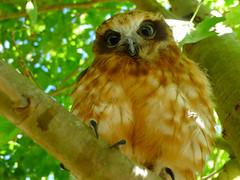 Boobook Owl. Ninox novaeseelandiae (Rattlepod) Tags: owl bird brown eyes feathers trees