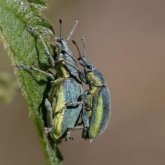 couple (Bea Antoni) Tags: canon closeup makro macro frühling spring summer sommer paarung insekten insect insekt rüsselkäfer käfer bugs bug beetle