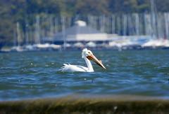 American White Pelican (Dodge Rock) Tags: 9544 pelican americanwhitepelican