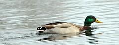 J78A0227 (M0JRA) Tags: robins birds humber ponds lakes people trees fields walks farms traylers