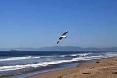 fly (greenelent) Tags: bird beach seagull ocean pacificocean pacific seashore manhattanbeach ca california