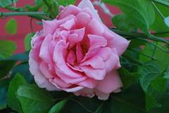 Christe, du Schöpfer aller Welt (amras_de) Tags: rose rosen ruža rosa ruže rozo roos arrosa ruusut rós rózsa rože rozes rozen roser róza trandafir vrtnica rossläktet gül blüte blume flor cvijet kvet blomst flower floro õis lore kukka fleur bláth virág blóm fiore flos žiedas zieds bloem blome kwiat floare ciuri flouer cvet blomma çiçek