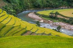 _Y2U2735.0918.Cầu Ba Nhà.Chế Cu Nha.Mù Cang Chải.Yên Bái (hoanglongphoto) Tags: asia asian vietnam northvietnam northwestvietnam landscape scenery vietnamlandscape vietnamscenery terraces terracedfields hillside harvest seasonharvest river abstract curve canon canoneos1dx tâybắc yênbái mùcangchải chếcunha cầubanhà phongcảnh ruộngbậcthang lúachín mùagặt ruộngbậcthangmùcangchải sườnđồi đườngcong trừutượng suối dòngsuối mùcangchảimùalúachín mùcangchảimùagặt canonef70200mmf28lisiiusm northernvietnam