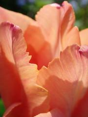 Tulip crazy (Landanna) Tags: tulip tulipaner tulipcrazy tulpen tulp thedelicatebeautyofatulip macro pink orange roze oranje flower bloem blomst