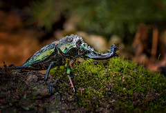 Rainy Days and Mondays (Kathy Macpherson Baca) Tags: insect bug beetle world stag rainbow male earth asia planet ground invertebrate