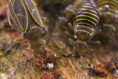 Bark-lice-front (Venus Optics - Laowa) Tags: 2018 colombia february2018 psocoptera santamarta taironaka aggregation barklice nymph riodondiego