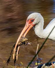 White Ibis With a Frog at Sawgrass Lake Park (dbadair) Tags: bird water lake sawgrass frog shore amphibians ibis