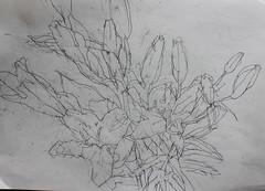 IMG_7216 (Kazuko Tsukioka) Tags: lily flower drawing pencil