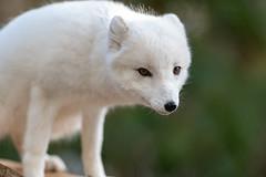 Arctic Fox Creeping Along (Eric Kilby) Tags: stonezoo animal arctic fox white fuzzy winter fluffy