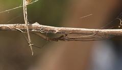 Tetragnatha or Long Jawed Spider. (ron_n_beths pics) Tags: westernaustralia perthbushlands araneae tetragnathidae longjawedspiders
