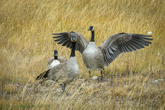 Yellowstone National Park Canada Geese 09-22-2018 (Jerry's Wild Life) Tags: brantacanadensis canadageese canadagoose yellowstone yellowstonecanadageese yellowstonecanadagoose yellowstonegeese yellowstonenp yellowstonenationalpark