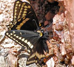 Black Swallowtail (Laurie Paulik) Tags: blackswallowtails butterflies horsetoothmountainopenspace swallowtails