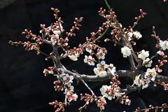 Ume (Japanese Plum Tree) (seiji2012) Tags: 梅 マクロ 接写 japan japaneseapricot macro blossom