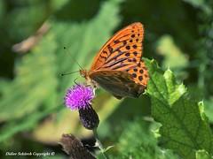 Tabac d'Espagne (Argynnis paphia) (15) (Didier Schürch) Tags: nature herbes animal papillon tabac argynniis