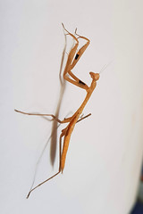 Praying mantis-light brown 3 (SierraSunrise) Tags: animals esarn insects isaan mantids nongkhai phonphisai prayingmantis thailand