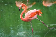 A tipsy Flamingo (bp-122) Tags: flamingo bird tipsy slant zsl whipsnade uk bedfordshire natural pink wildlife fauna water wings longlegs figureskating ripple stilts