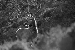Red Deer Stag (Gavin MacRae) Tags: reddeerstag stag blackandwhitestag backlitstag rimlitstag cervuselaphus reddeer deer strathglass glenaffric glenstrathfarrar glencannich scottishwildlife scottishnature scottishhills highlandnature highlandwildlife highlands highlandsofscotland nature nikon wildlife woodlandwildlife scotland