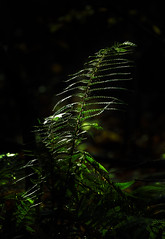 Light & dark (Colin-47) Tags: ferns lightanddark colin47 nature eos6d ef70300mmf456isiiusm november 2018