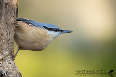 Nuthatch (Matt Hazleton) Tags: nuthatch bird nature wildlife animal outdoor sittaeuropaea canon canon100400mm canoneos7dmk2 eos 7dmk2 100400mm matthazleton matthazphoto northamptonshire barnwell