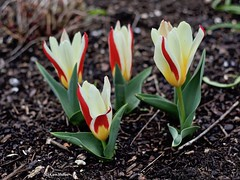 EN8A5107 (Karin Michies) Tags: botanischetuinen botanischetuinenutrecht universiteitutrecht utrechtuniversity botanicalgardens bloemen flowers natuur nature tulp tulpen tulip tulips