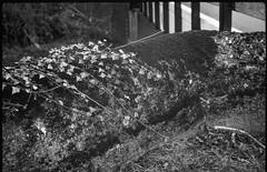 old concrete wall, moss, ivy, bridge, rhythms, BIltmore Estate, Asheville, NC, FED 4, Industar 26, Arista.Edu 200, HC-110 developer, 3.26.19 (steve aimone) Tags: wall concrete moss ivy bridge rhythms visualrhythm rhythmicmovements biltmoreestate asheville northcarolina fed4 industar2650mmf28 aristaedu200 hc110developer landscape 35mm 35mmfilm film blackandwhite monochrome monochromatic