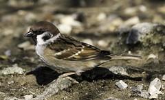 Tree Sparrow Attenborough (Dave Bickley) Tags: attenborough birds sparrow attenboroughnaturereserve nottinghamshirewildlifetrust nottingham nottinghamshire treesparrow fujixt3 fuji