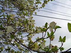 Power Lines And Dogwood Blossoms. (dccradio) Tags: lumberton nc northcarolina robesoncounty outdoor outdoors outside tree trees branch branches treebranch treebranches march spring springtime sunday morning sundaymorning goodmorning flower floral flowers flowering floweringtree dogwood dogwoodtree pretty beauty beautiful scenic bloom bloomingblossom blossoming sony cybershot dscw830 treelimb treelimbs wires lines powerlines powerwires utilitywires utilitylines electricwires electriclines