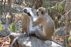Vervet Monkeys Grooming-3 (Pavlo Kuzyk) Tags: monkey animal animalkingdom safari africa canon