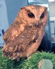 Pinky (billnbenj) Tags: barrow cumbria owl indianscopsowl raptor birdofprey