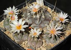 Turbinicarpus macrochele group flowering (Resenter89) Tags: cactus piante grasse succulente cactaceae cacti kakteen turbinicarpus macrochele group flowering mother plant with seedlings bloom blooming white