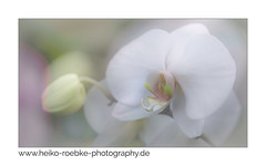 Orchidee / orchid (H. Roebke) Tags: orchidee orchid color pflanze nature flower germany blume natur makro plant macro farbe hannover de canon5dmkiv canon100mmf28makrolisii 2019 lightroom soft mehrfachbelichtung multiexposure pastell greatphotographers