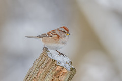 American Tree Sparrow (Joe Branco) Tags: ontario canada bird birds branco joe lightroom photoshop nikond850 nikon wildlifephotography joebrancophotography americantreesparrow green