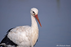 Cicogna _015 (Rolando CRINITI) Tags: cicogna uccelli uccello birds ornitologia avifauna racconigi natura