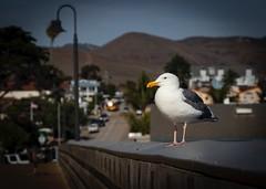 Pacific Gull at the Cayucos Pier No 5-2 (CDay DaytimeStudios w /1 Million views) Tags: beach bluesky ca california cayucos coastline gull highway1 ocean pacificcoast pacificcoasthighway pacificocean pier seagull water
