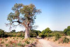 The Baobab Tree _6404-2 (hkoons) Tags: southernafrica africa african baobab namibia tree ancient arbor bloom blossom branch branches bud buds canopy color flora flower green growth large leaf leaves limb limbs old outdoors panorama plants roots soil stem sun sunshine trees trunk vegetation