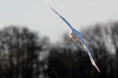 Snowy in Flight (Boreal Impressions) Tags: snowyowl owl buboscandiacus strigiformes strigidae bird animal wildlife wildlifephotography wildlifeandnature winter wilderness wild wildanimal prairie raptor beauty sky