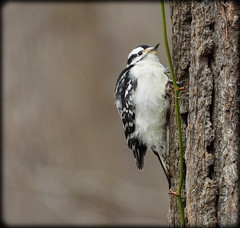 DSCN3770 (DianeBerky19) Tags: coolpixp1000 nikon bird woodpecker downywoodpecker