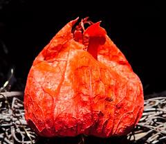 Physalis alkekengi (Uup115) Tags: macromondays picktwo damaged plant damagedplant macro hmm cameraphone bladdercherry wintercherry physalis physalisalkekengi juutalaiskirsikka lyhtykukka
