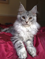 Maine Coon (Tony Worrall) Tags: 😻 cat feline pet maine coon mainecoon pussy paws beauty beautiful grey cats longpaws buy sell sale bought item stock fun fur furry stare cute chat puss nice place location animal beast creature live pedigree large natural name claws