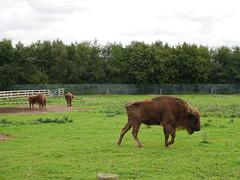 Where The Bison Roam (firehouse.ie) Tags: eire republicofireland fotawildfirepark fotaisland fota wildlife buffalos bisons animal park zoo countycork ireland animals buffalo bison nature