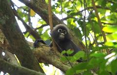 Spectacled Langur or Dusky Leaf Monkey (davidpetergibbins) Tags: monkey spectacled langur dusky leaf