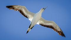 Effortless (Stefan Marks) Tags: animal australasiangannet bird flying gannet morusserrator nature outdoor sky aucklandwaitakere northisland newzealand