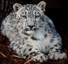 PIC_2508 (kryztophe) Tags: snow leopard panthere des neiges