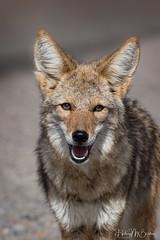 _6HB8436 (Hilary Bralove) Tags: wildlife deathvalley coyote california deathvalleynationalpark