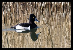 RING NECKED DUCK (PHOTOGRAPHY STARTS WITH P.H.) Tags: ring necked duck nikon d500 500mm afs vr gitzo mk5 radipole lake weymouth dorset