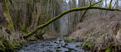 Near and far (mexou) Tags: mexou upstream trunk bow down roots wire pano luxembourg