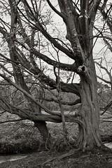 Am Gundbach (nordelch61) Tags: deutschland hessen heimat mörfeldenwalldorf mönchbruch gundbach gundbachwiesen gundbachweiher bäume buchen knorrig uralt wurzel wurzeln ast äste zweig zweige