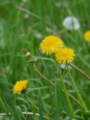 SK_2017-05-21_P1320208 (Stephan_66) Tags: löwenzahn blumen flower زهرة