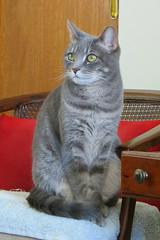 Millie 21 February 2019 2465 (edgarandron - Busy!) Tags: millie graytabby cat cats kitty kitties tabby tabbies cute feline